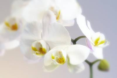Orchids In The Mist Poster