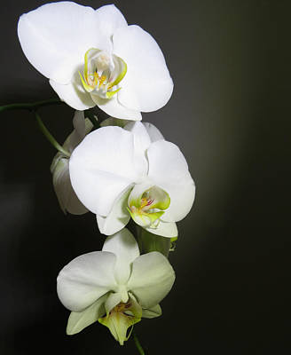 Orchids On Gray Poster