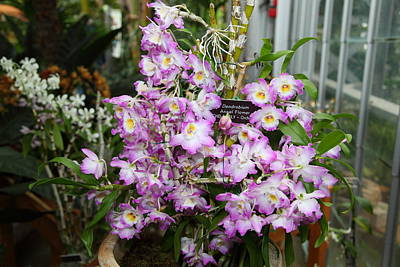 Orchids - Us Botanic Garden - 011317 Poster