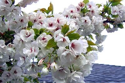Oregon Cherry Blossoms Poster