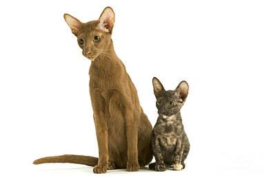 Oriental Cat And Kitten Poster by Jean-Michel Labat