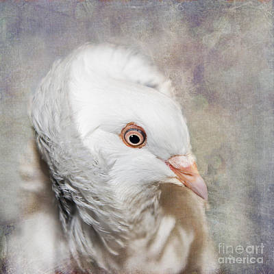 Oriental Frill Pigeon Poster by Betty LaRue