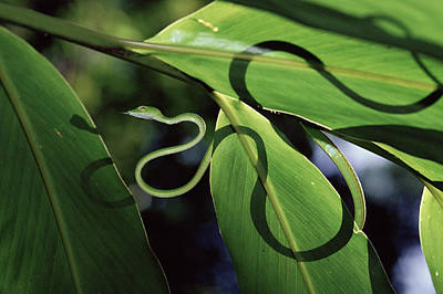 Oriental Whip Snake Ahaetulla Prasina Poster by Michael and Patricia Fogden