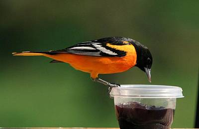 Oriole At Feeder Poster