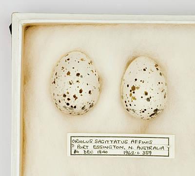 Oriolus Sagittatus Affinis Eggs Poster