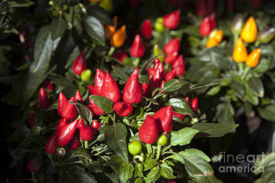 Ornamental Peppers Poster by Peter French