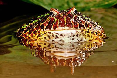 Ornate Horn Frog, Ceratophrys Ornata Poster by David Northcott
