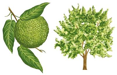 Osage Orange Tree Poster by Anonymous