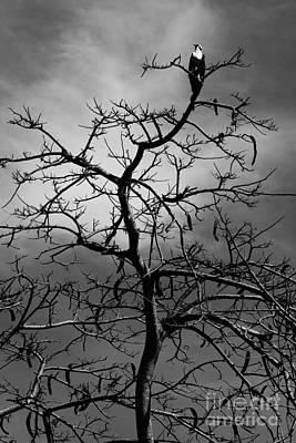 Osprey Atop A Poinciana Poster by Lynda Dawson-Youngclaus