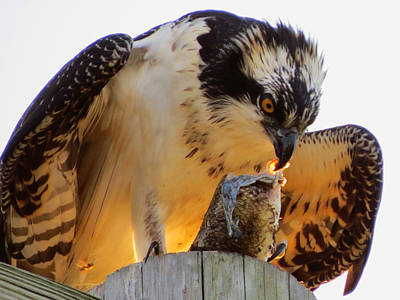 Poster featuring the photograph Osprey Breakfast by Dianne Cowen