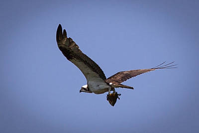 Osprey Carrying Fish  Poster