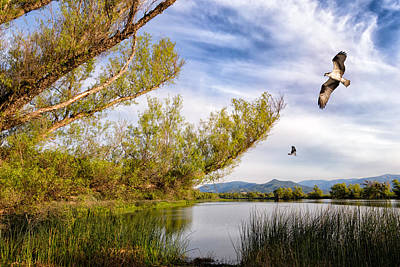 Osprey Fishing On Rodman Slough Poster