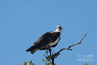 Osprey In A Tree Poster by Christiane Schulze Art And Photography