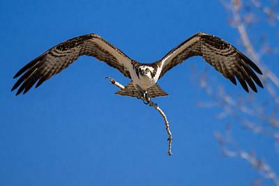 Osprey Inbound Poster by Bryce Bradford