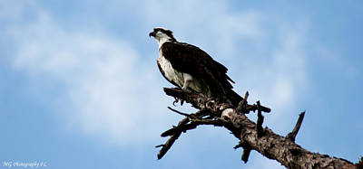 Osprey On Perch Poster by Marty Gayler