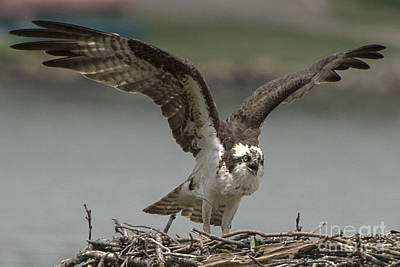Osprey Parent Arrives At The Nest Poster by Lauren Brice