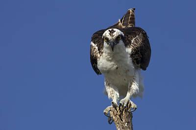 Osprey Photo Poster