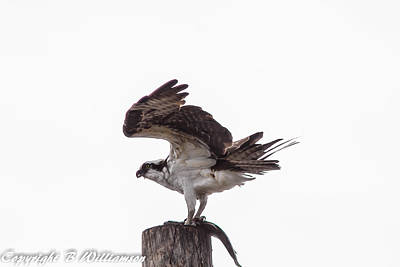 Osprey Wit A Trout Poster by Brian Williamson