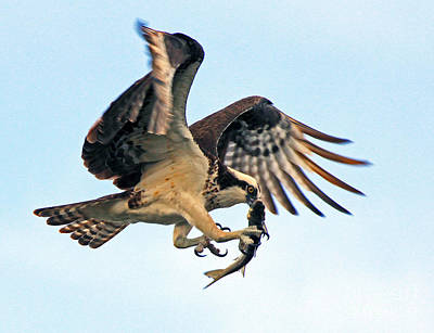 Osprey With Fish 1-6-15 Poster