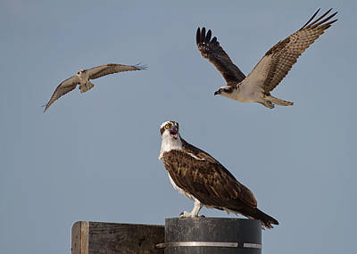 Osprey's Three Poster