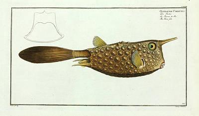 Ostracion Cornutus (lactoria Cornuta) Poster by Natural History Museum, London