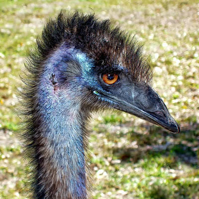 Poster featuring the photograph Ostrich 1 by Dawn Eshelman
