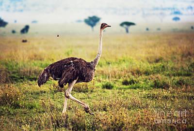 Ostrich On Savanna. Safari In Tanzania Poster by Michal Bednarek
