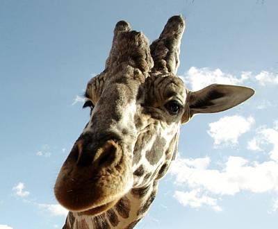 Out Of Africa  Reticulated Giraffe Poster