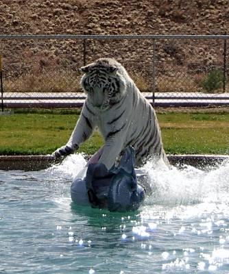 Out Of Africa Tiger Splash 1 Poster