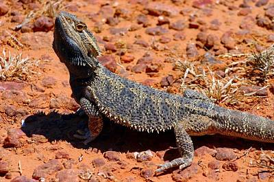 Poster featuring the photograph Outback Lizard by Henry Kowalski