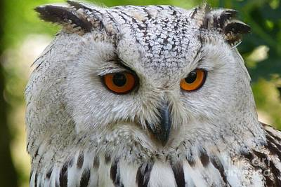 Poster featuring the photograph Owl Bird Animal Eagle Owl by Paul Fearn