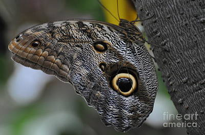 Poster featuring the photograph Owl Butterfly by Bianca Nadeau