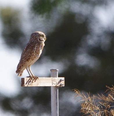 Poster featuring the photograph Owl Profile by David Rizzo