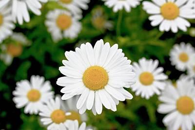 Oxeye Daisy (leucanthemum Vulgare) Poster by Dan Sams