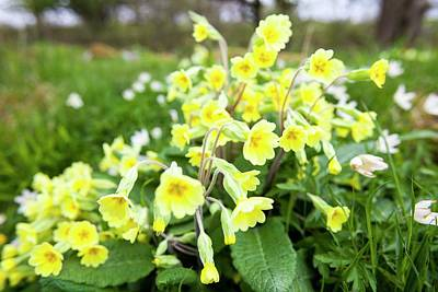 Oxlips Growing In Oxenber Woods Poster by Ashley Cooper