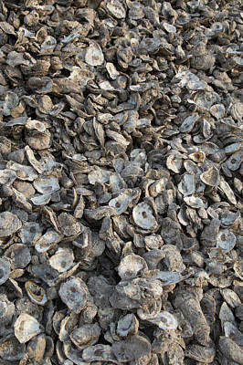 Oyster Shells After Processing Poster