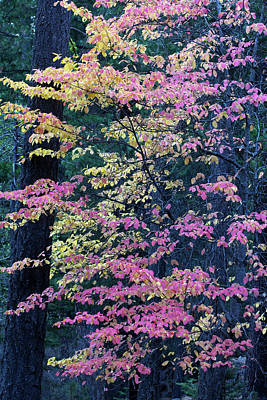 Pacific Dogwood Trees In Autumn Hues Poster by Marc Moritsch
