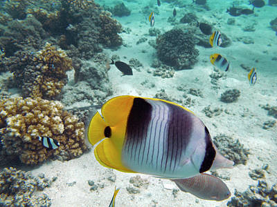 Pacific Double-saddle Butterflyfish Poster