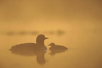 Pacific Loon And Chick On Misty Lake Poster