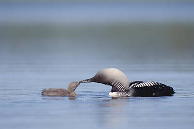 Pacific Loon Parent Feeding Chick North Poster