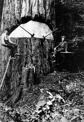 Pacific Old Growth Tree And Fallers Poster