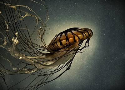 Pacific Sea Nettle Poster by Marianna Mills