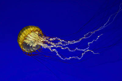 Pacific Sea Nettle Poster by Mark Kiver