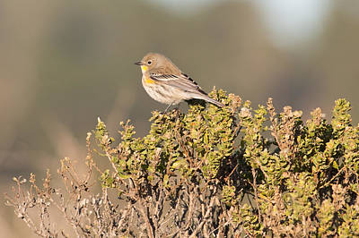 Pacific Sloped Flycatcher Poster