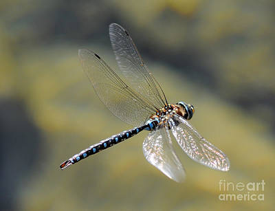 Paddletail Darner In Flight Poster by Vivian Christopher