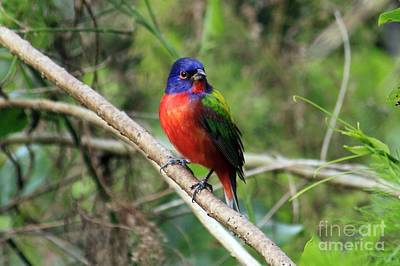 Poster featuring the photograph Painted Bunting Photo by Meg Rousher