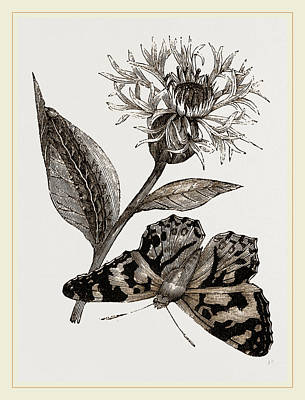 Painted Lady And Alpine Bluebottle Poster by Litz Collection
