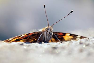 Painted Lady Butterfly Poster by Alex Hyde
