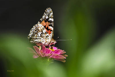 Painted Lady Butterfly At Rest Poster by Christina Rollo