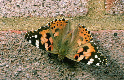 Painted Lady Butterfly Poster by Nigel Downer